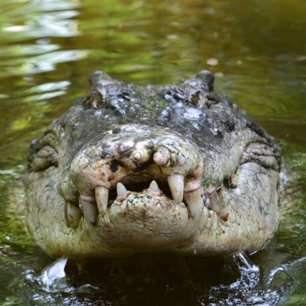 mandibula de cocodrilo