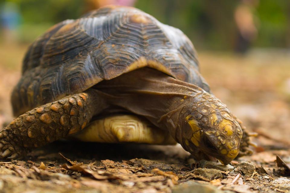 morrocoy tortuga