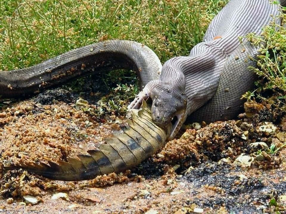 piton comiendo a un cocodrilo