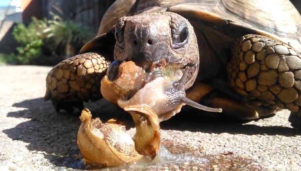 tortuga de tierra comiendo un caracol
