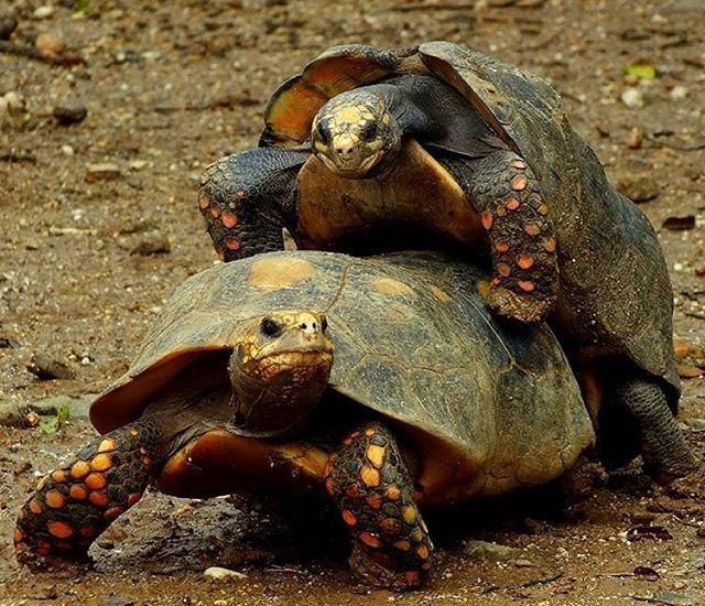 reproduccion tortugas morrocoy