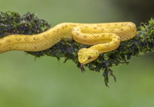 serpiente escamosa