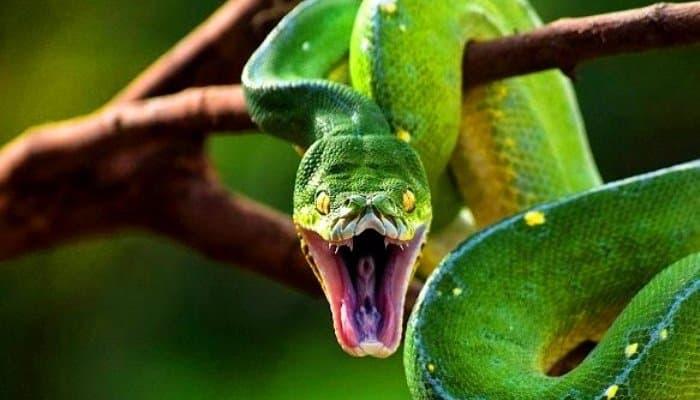 serpiente Pitón Verde arborícola