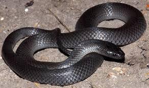 serpiente australiana de ojos pequeños
