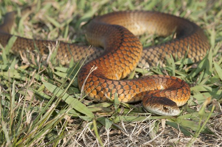 serpiente cabeza de cobre de las tierras bajas