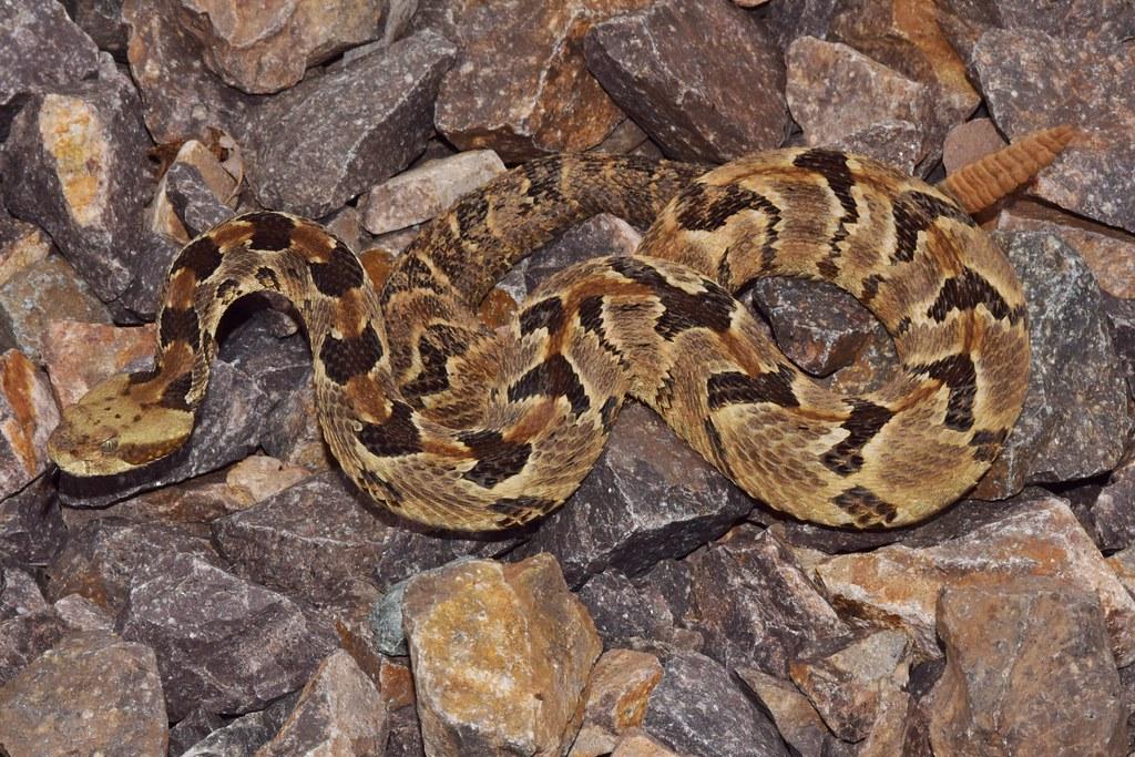 serpiente cascabel del bosque crotalus horridus