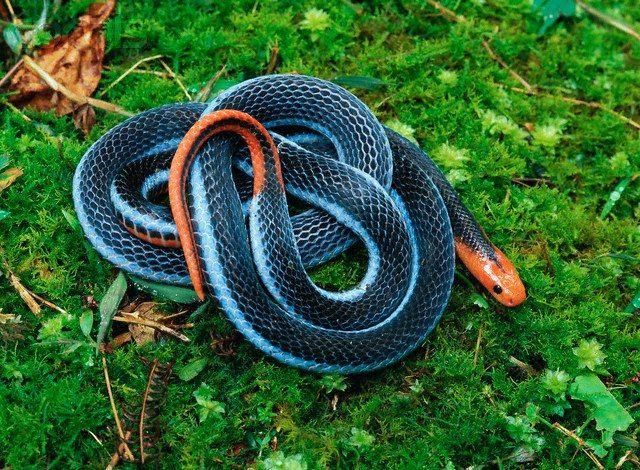 serpiente coral azul o malayo azul