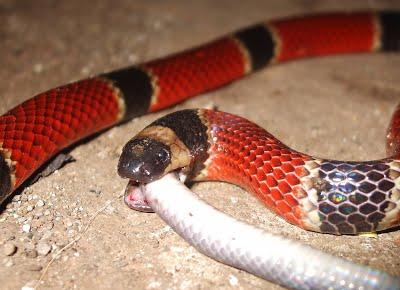 serpiente coral comiendo otra serpiente