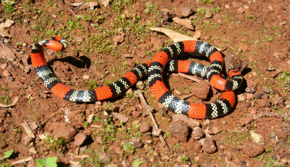 serpiente coral occidental