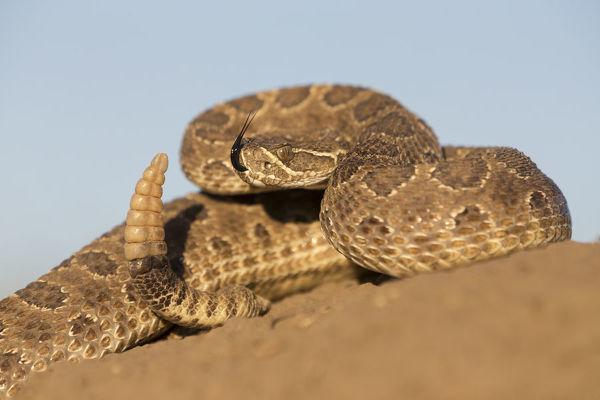 serpiente crotalo de pradera crotalus viridis