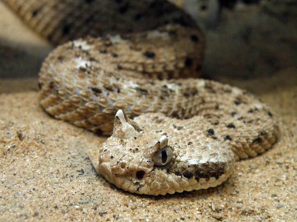 serpiente crotalus cerastes