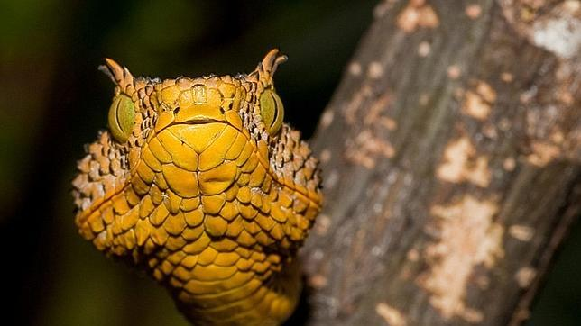 serpiente con cuernos de tanzania