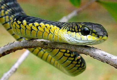 serpiente de boomslang