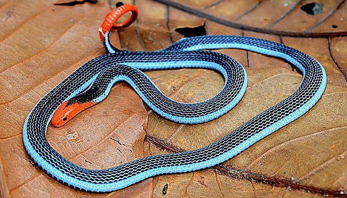 serpiente de coral azul