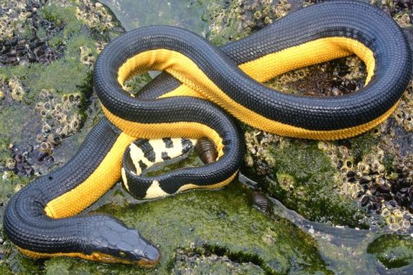 serpiente de mar amarilla pelagica del pacifico