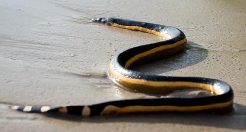 serpiente marina amarilla hydrophis platurus