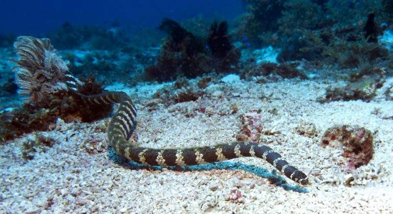 serpiente marina australia