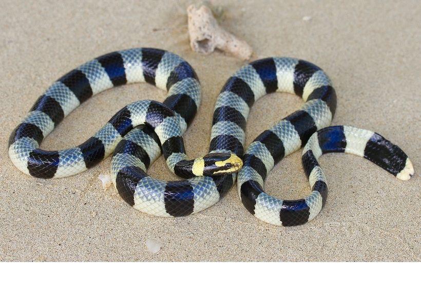 serpiente marina de hocico ancho