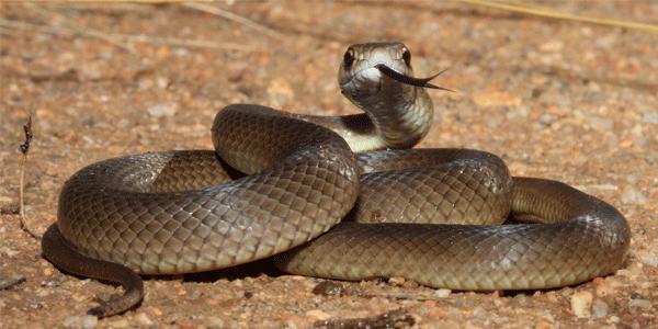 serpiente marron oriental