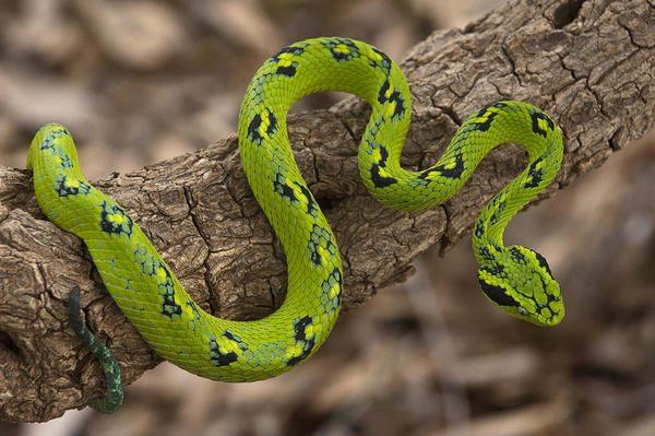 serpiente nauyaca mexico verde y negra