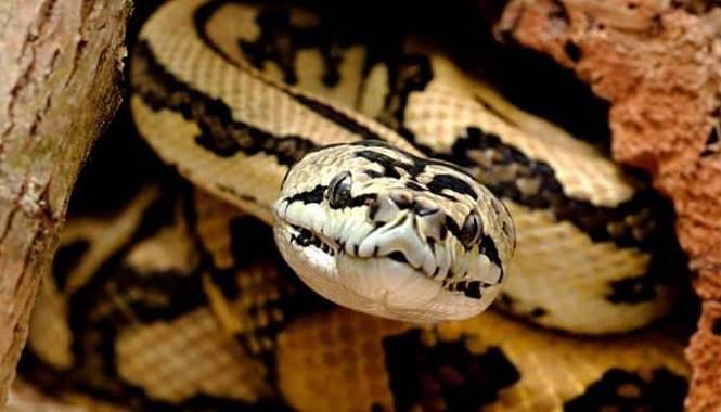 serpiente piton alfombra
