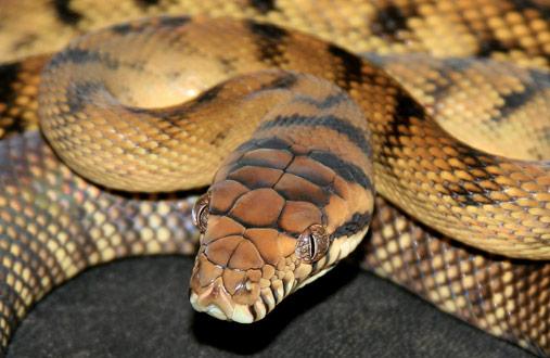 serpiente pitón amatista