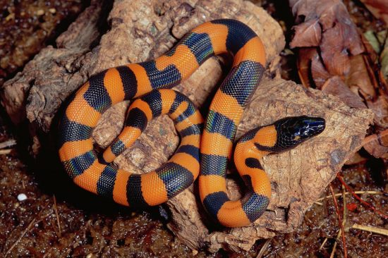 serpiente pitón con anillos de bismark