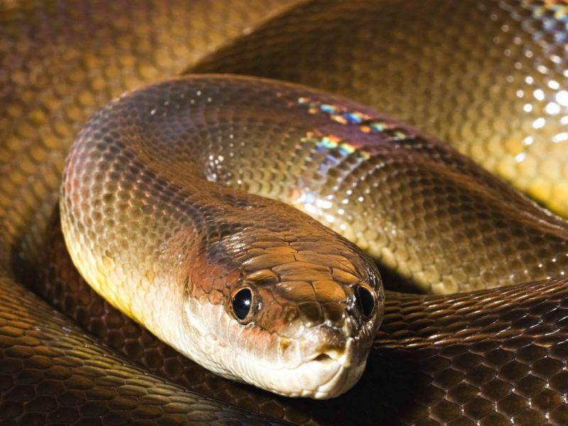 serpiente piton de agua