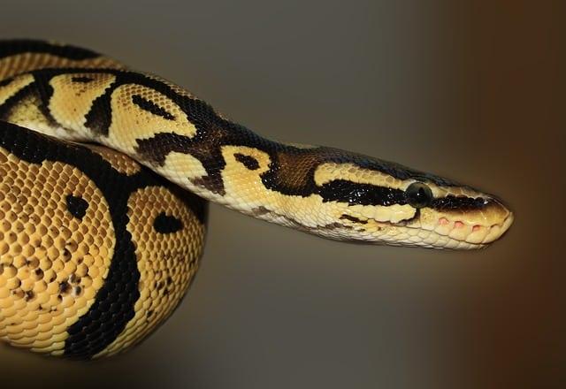 serpiente piton no venenosa