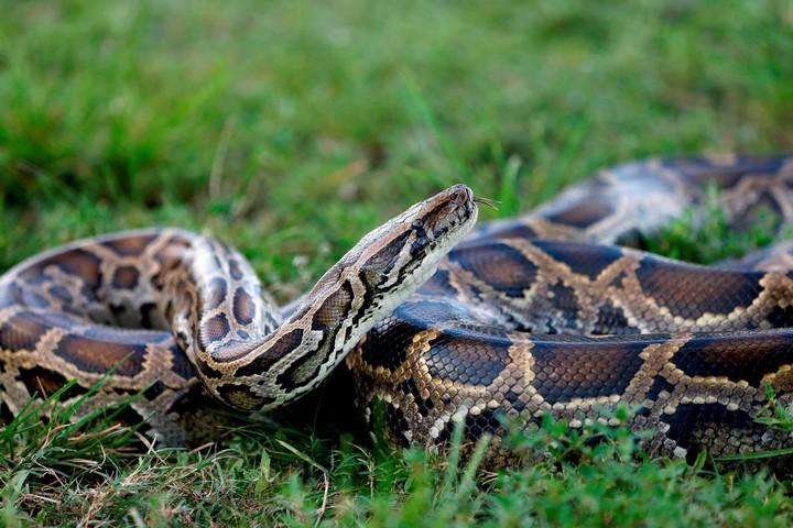 serpiente piton