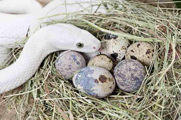 serpiente poniendo huevos