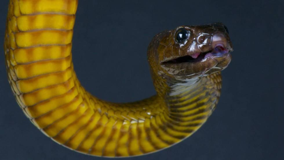 serpiente taipan australia