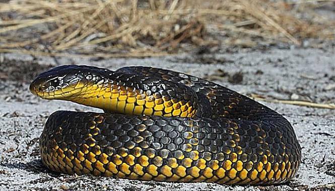 serpiente tigre negra y amarilla