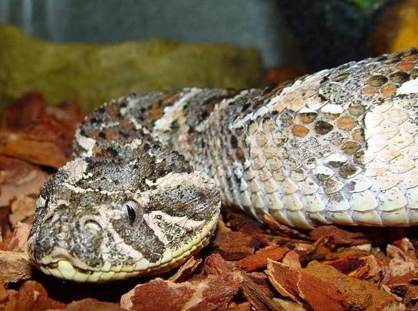 serpiente vibora bufadora