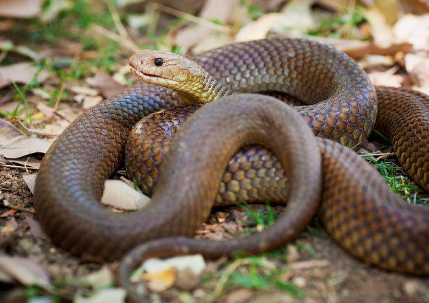 serpientes australia