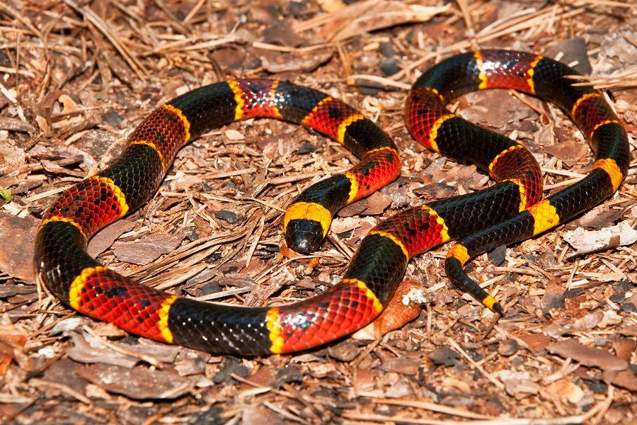 serpientes-coral oriental