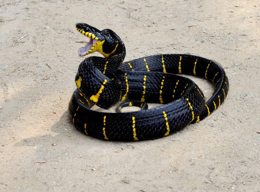 serpientes tigre australia