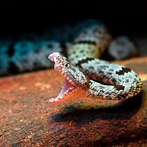 serpiente venenosa mexico
