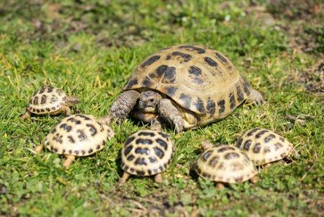 tortuga con crías