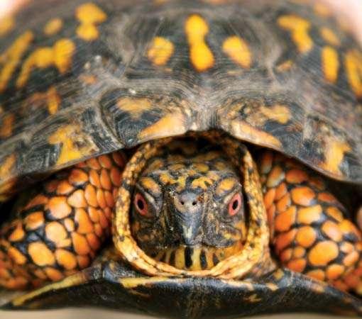 tortuga de caja vista de frente