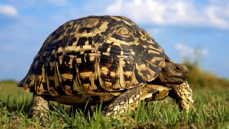 tortuga de caja