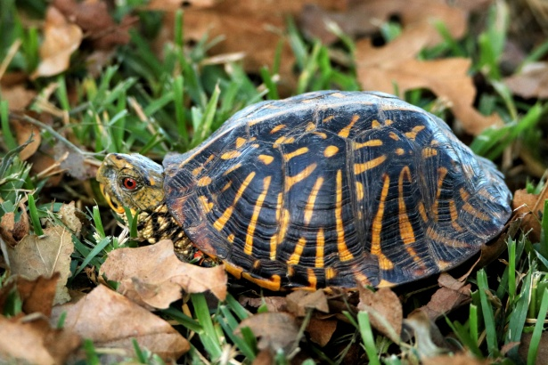 tortuga de caja adornada