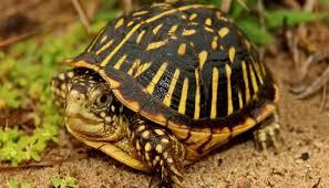 tortuga de caja comun