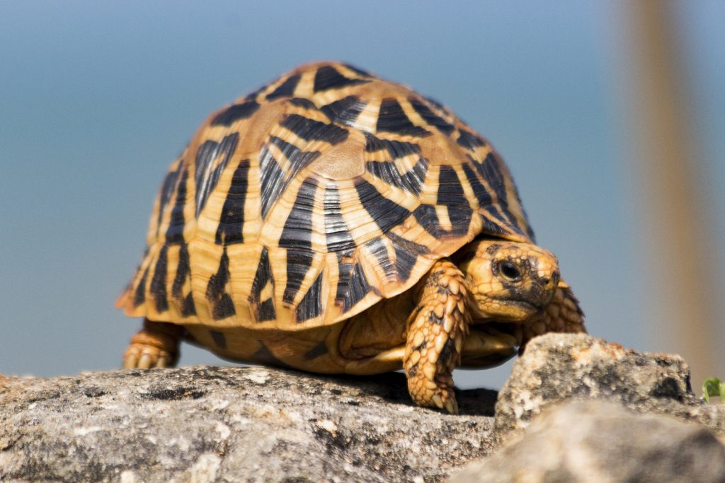 tortuga estrellada