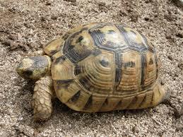 tortuga griega