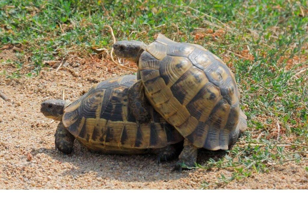 tortuga griega copulando
