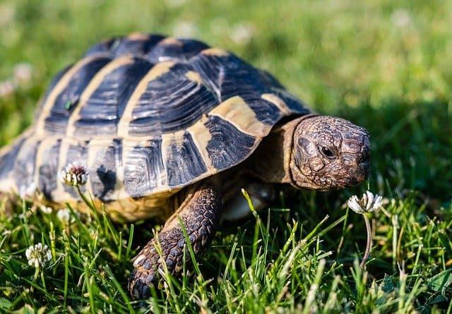 tortuga griega sobre cesped verde