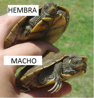 Diferencia entre tortuga macho y hembra