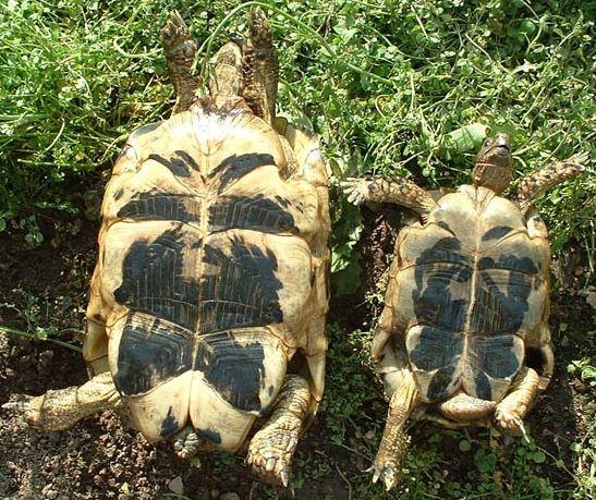 tortuga-mora-macho-y-hemba-boca-abajo