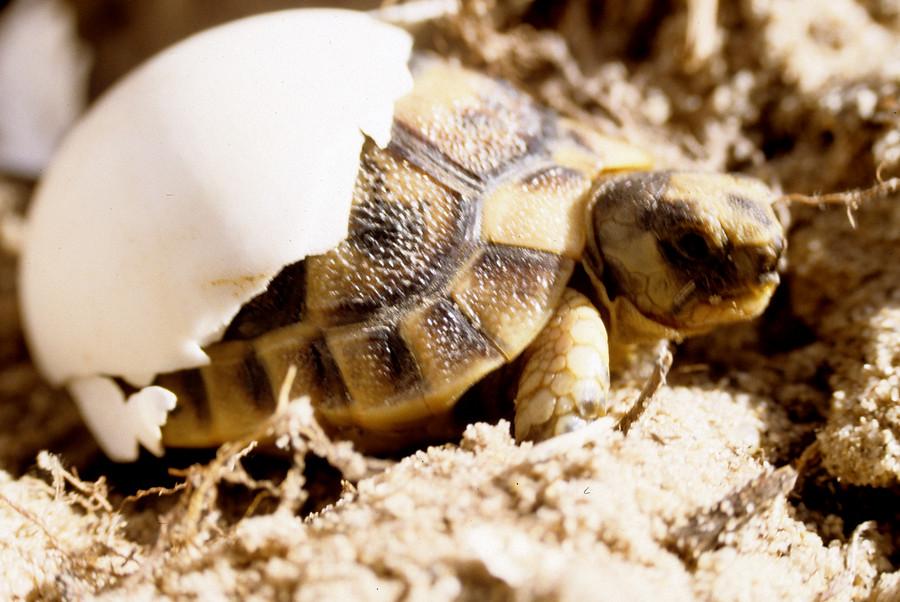 tortuga mora saliendo del huevo